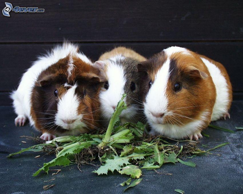 los conejillos de indias, hierba