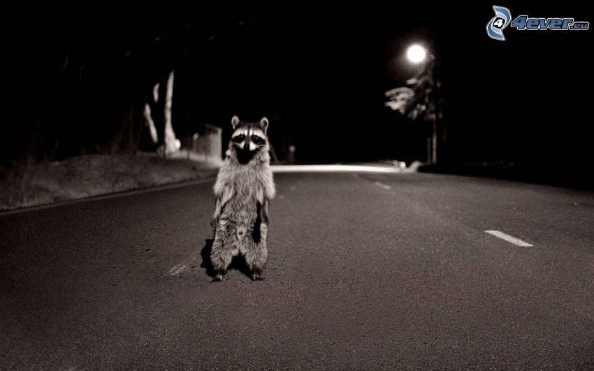 mapache, camino
