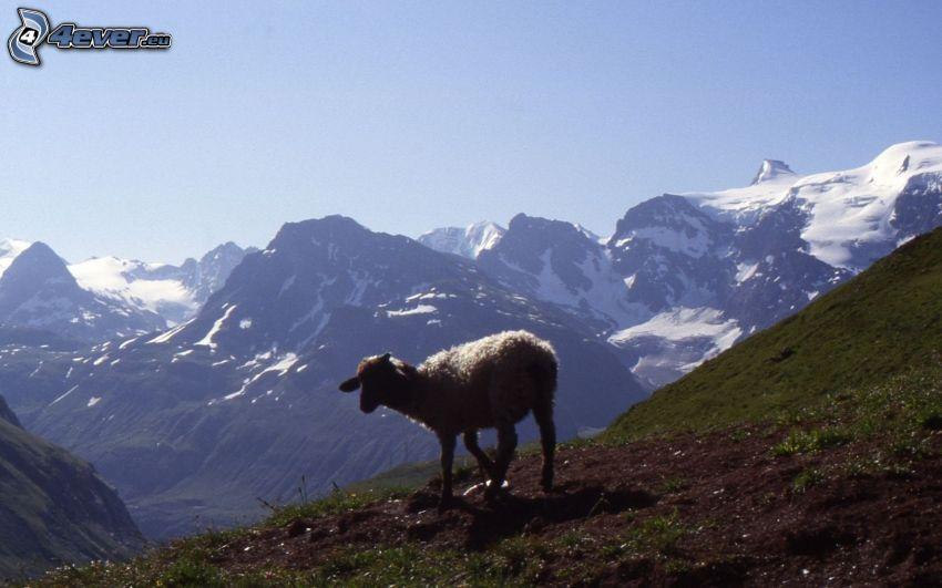 oveja, montañas