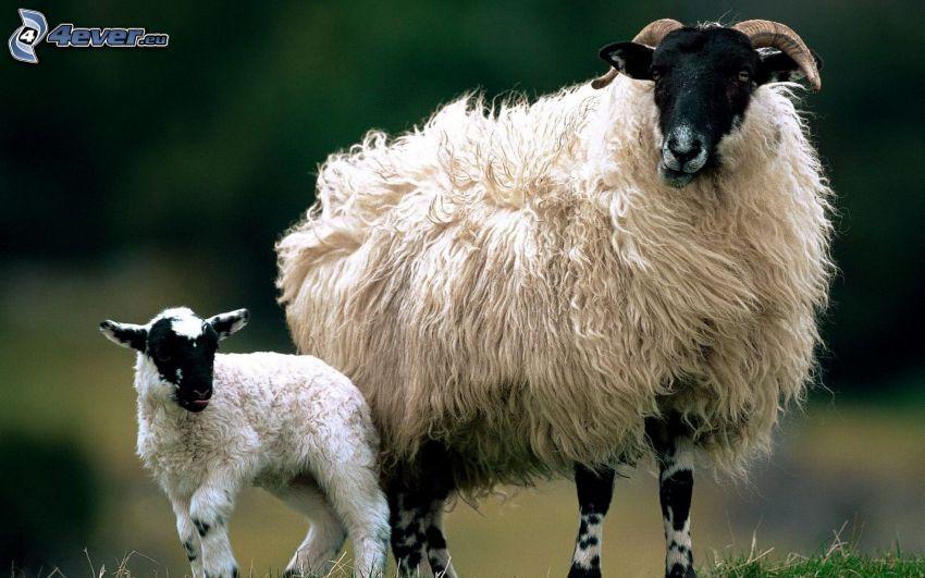 ovejas, cordero