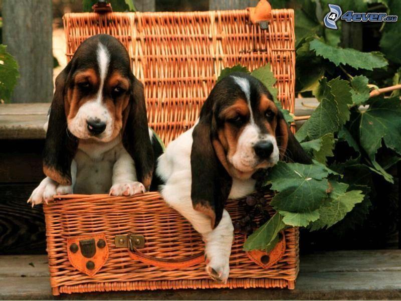 basset, cachorros, perros en cesta