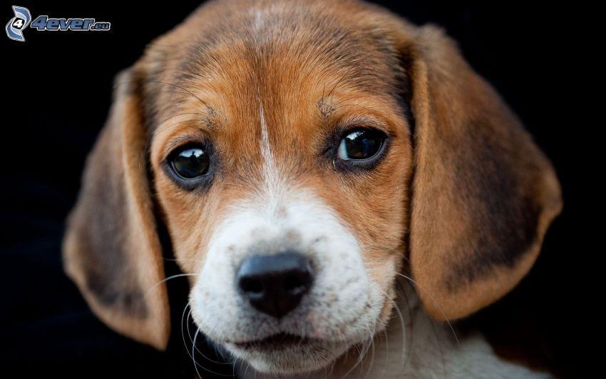 beagle, cachorro