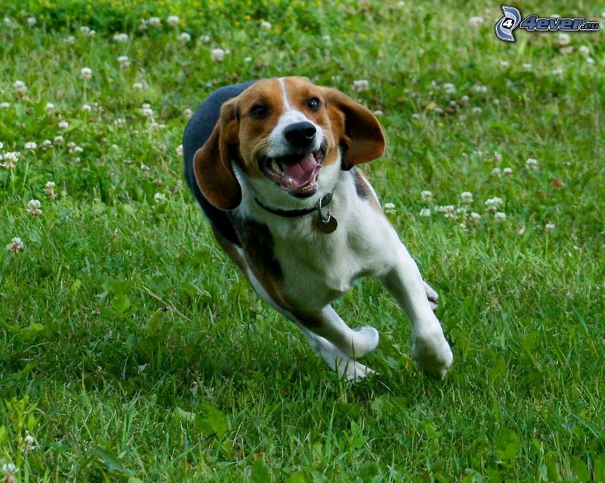 beagle, carrera, hierba