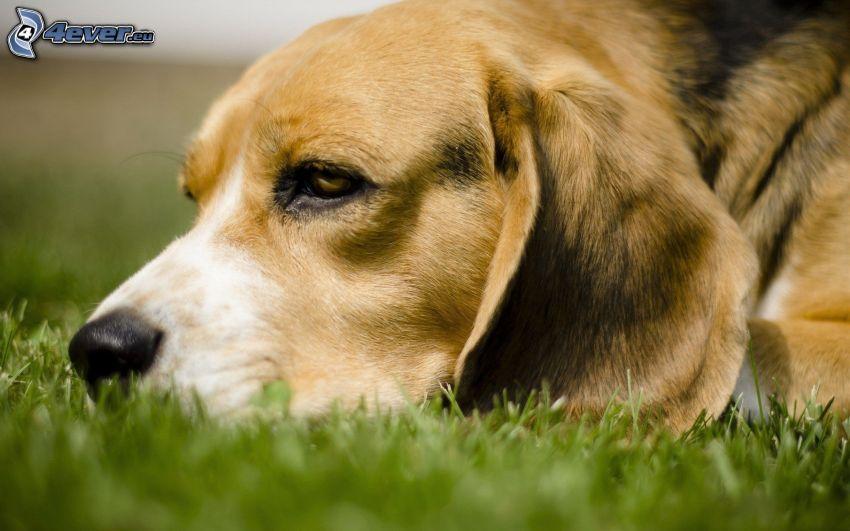 beagle, césped