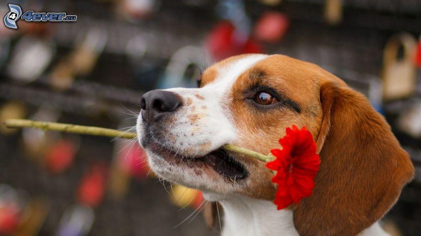 beagle, flor roja