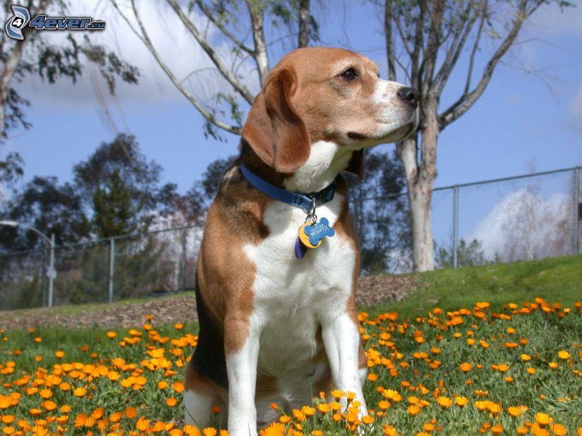 beagle, flores de color naranja, mirada, valla