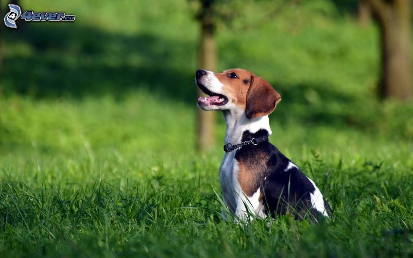 beagle, hierba
