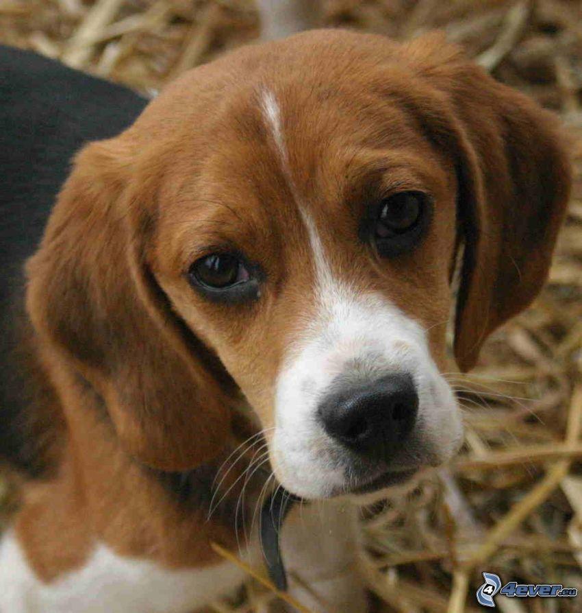 beagle, mirada de perro