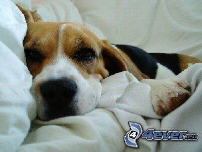 beagle, perro durmiendo