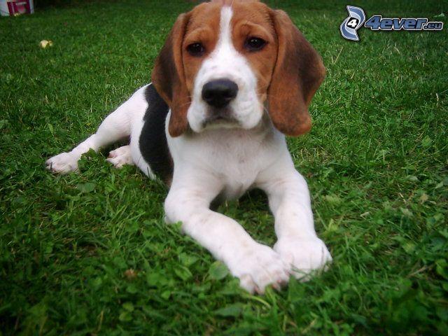 beagle, perro en la hierba