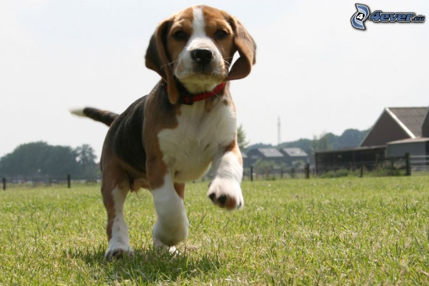 beagle cachorro, carrera, barraca