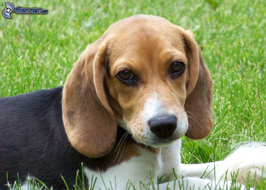 beagle cachorro, césped