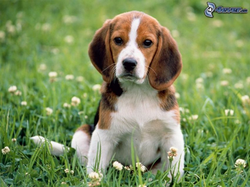 beagle cachorro, hierba