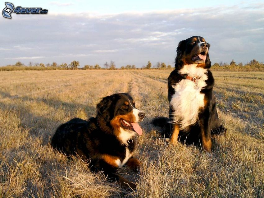 Bernese Mountain Dogs, campo
