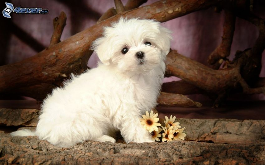 Bichón maltés, cachorro, flores, corteza de árbol, madera
