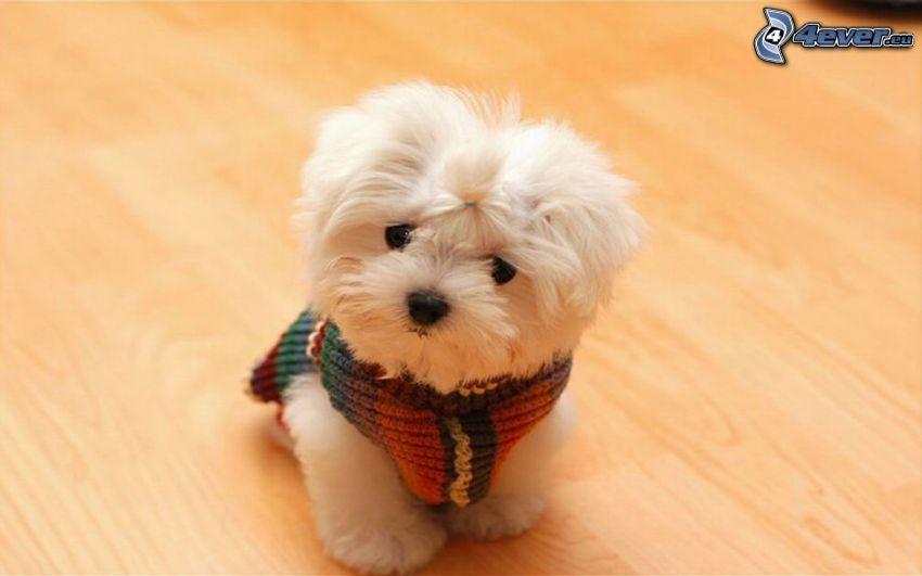 Bichón maltés, cachorro
