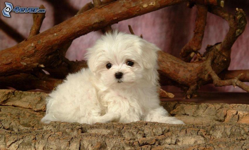 Bichón maltés, Perrito blanco, madera, corteza de árbol