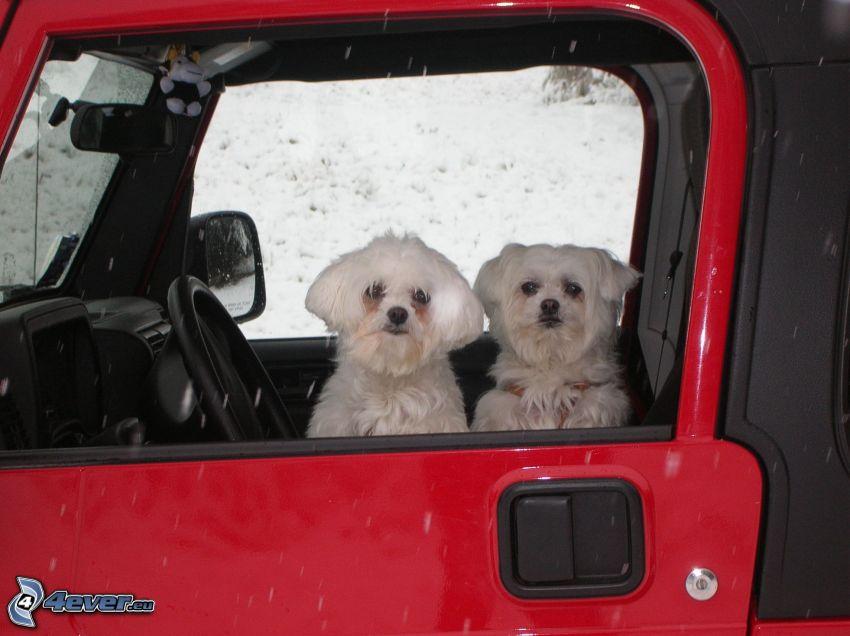 Bichón maltés, perros, coche