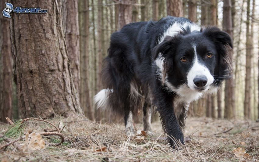 Border collie, bosques de coníferas