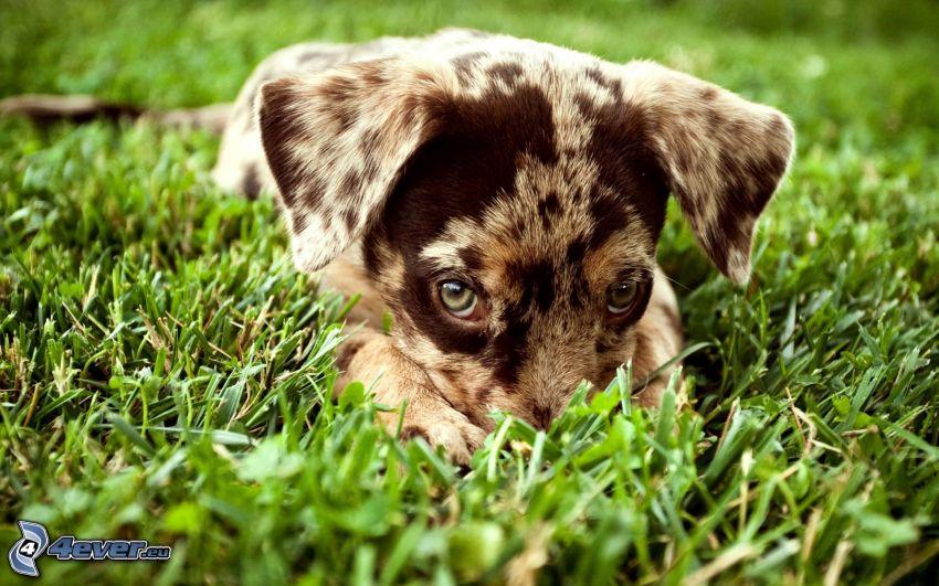 Border collie, perrito en hierba