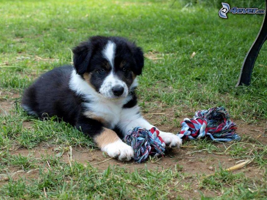 Border collie, perrito juguetón