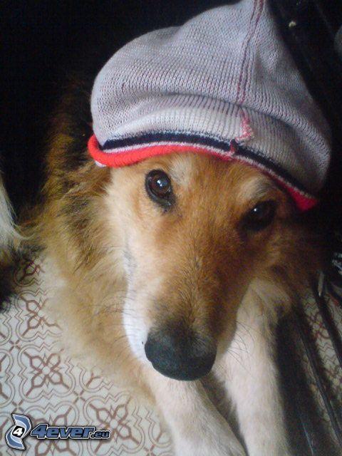 Border collie, perro vestido, gorro