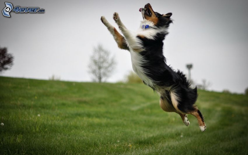 Border collie, salto, prado