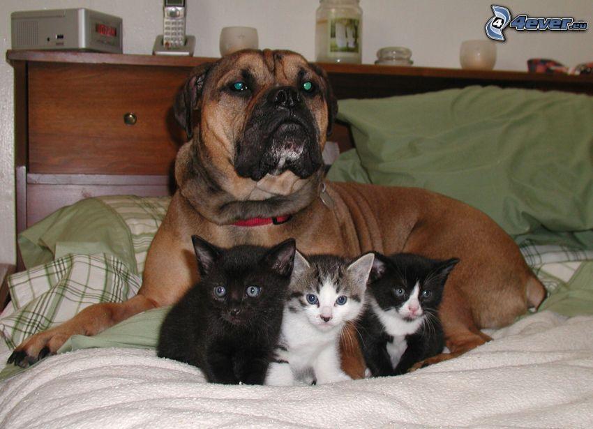 Boxer, gatitos