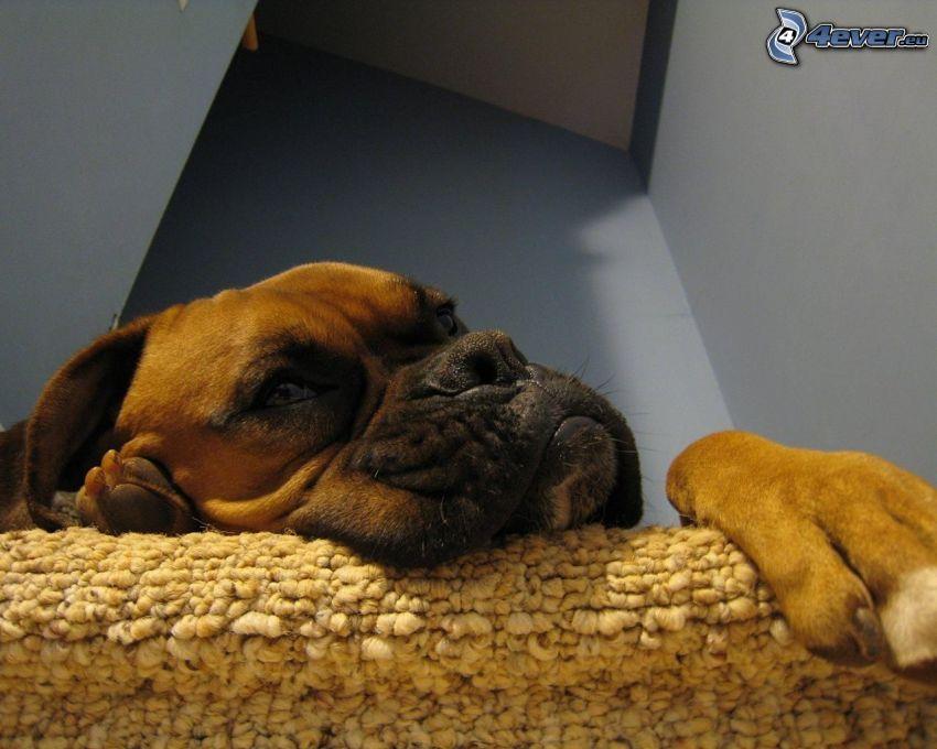Boxer, relax, descanso