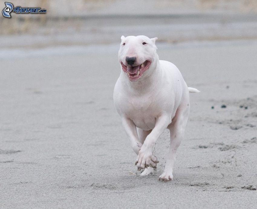 bull terrier, carrera, arena