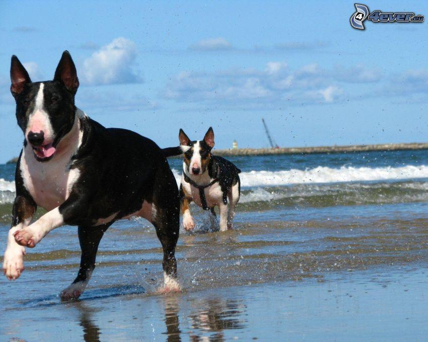 bull terrier, playa, mar, carrera