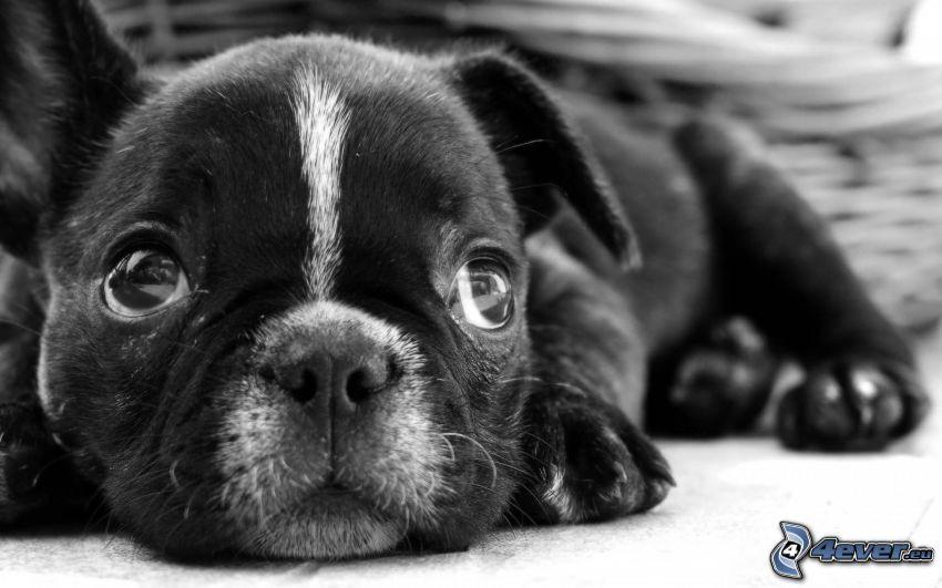 bulldog francés, cachorro de bulldog, blanco y negro