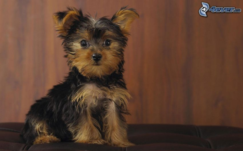 cabeludo Yorkshire Terrier