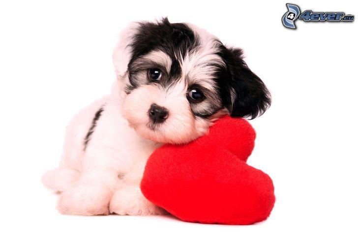 cachorro, corazón rojo