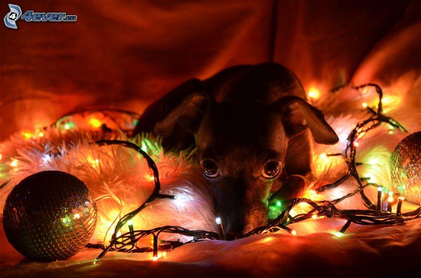 cachorro, luces