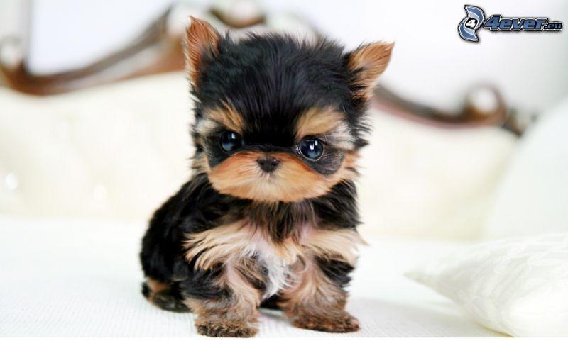 cachorro, Yorkshire Terrier, cama