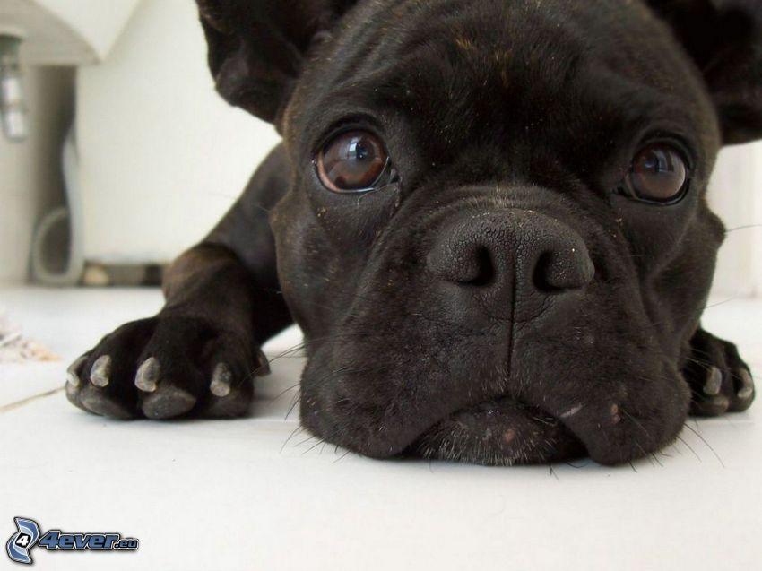 cachorro de bulldog, hocico