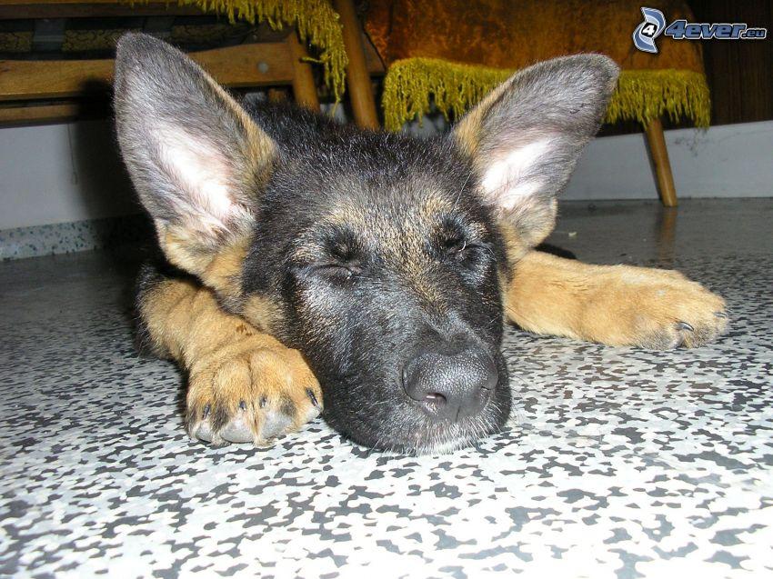 cachorro durmiendo, pastor alemán, perro en el suelo