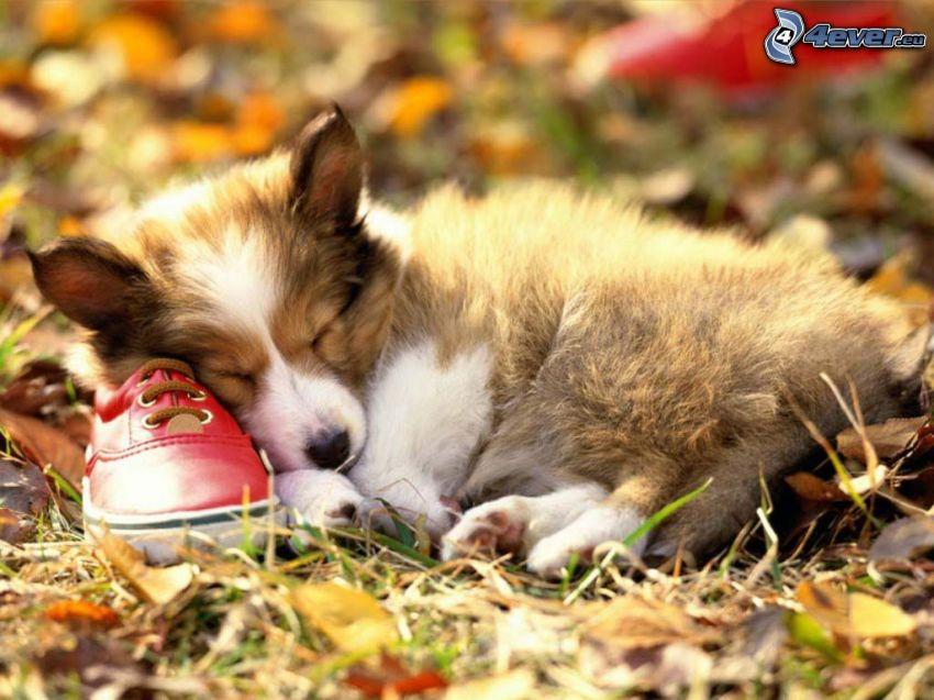 cachorro durmiendo, zapatillas rojas, hierba