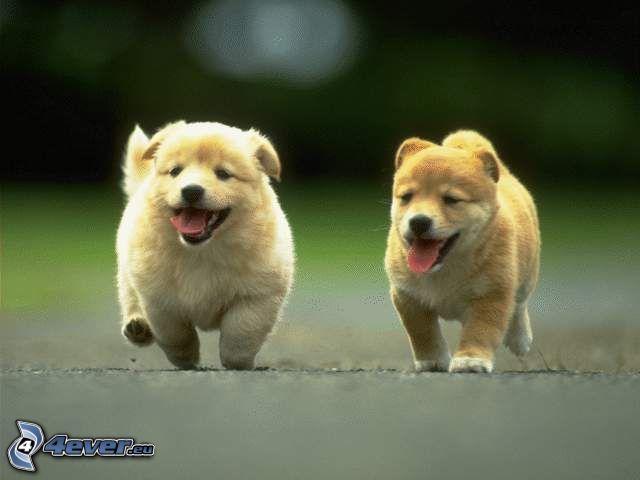 cachorros, carrera