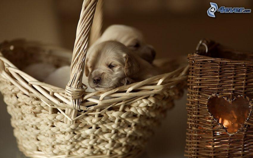 cachorros, golden retriever, perros en cesta, corazón