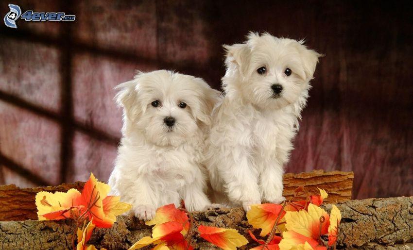 cachorros, perro blanco, tribu, las hojas coloradas