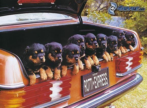 cachorros, portaequipajes, coche