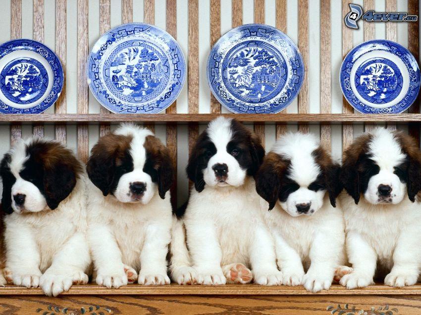 cachorros, St. Bernard, platos de color azul