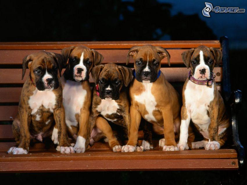 cachorros de boxer, banco