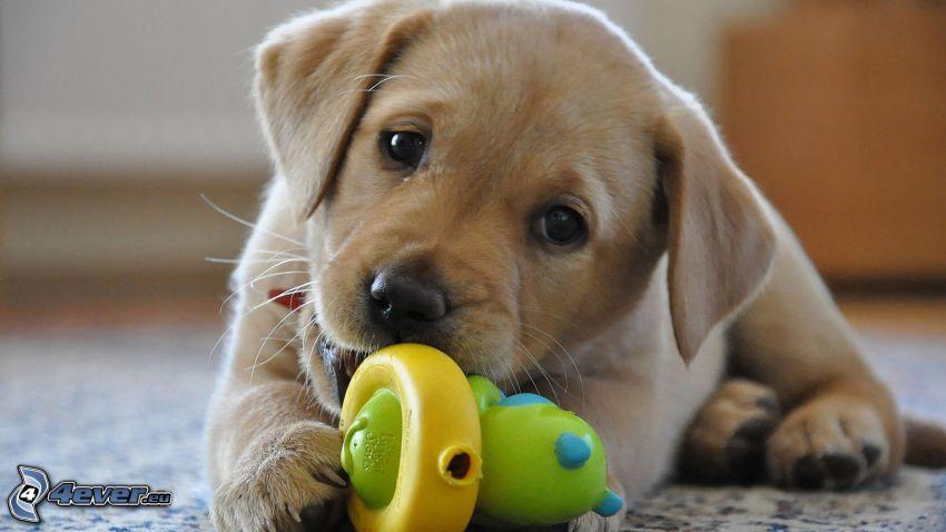 cachorros de golden Retriever, juguete