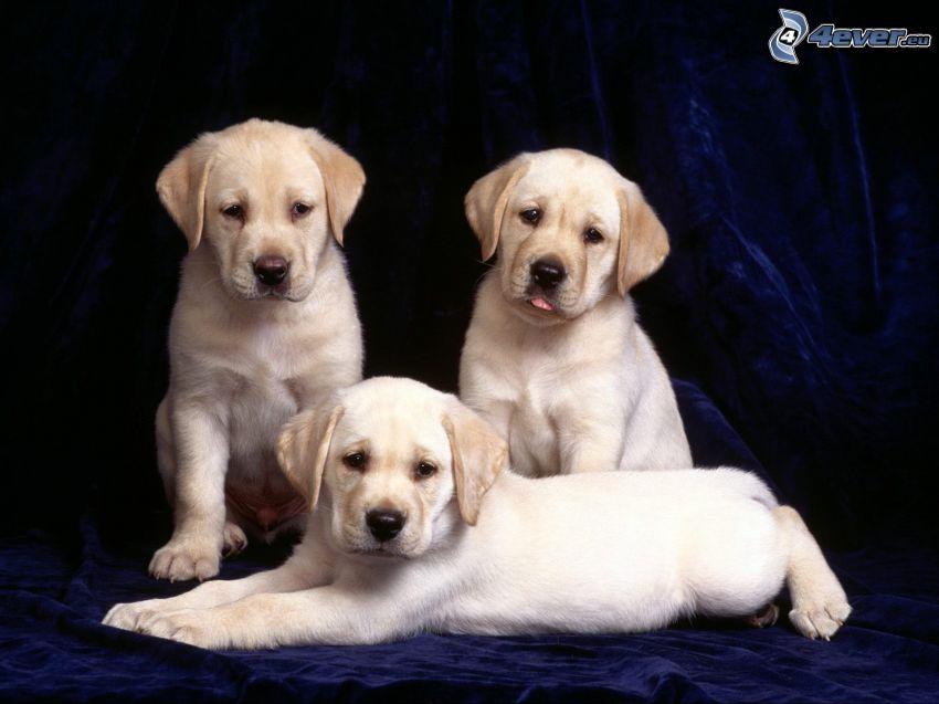 cachorros de Labrador, cachorros