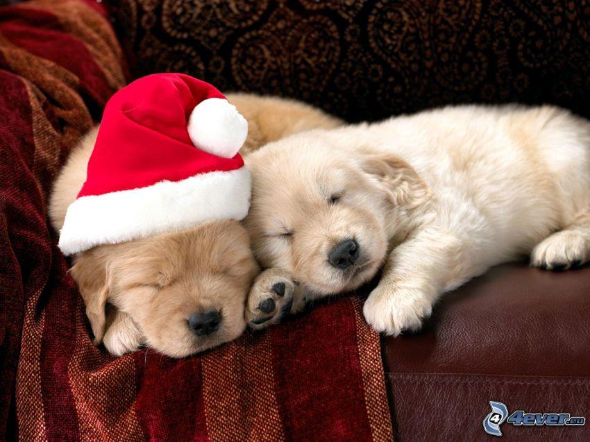 cachorros de Labrador, cachorros durmiendo, gorra de San Nikolás