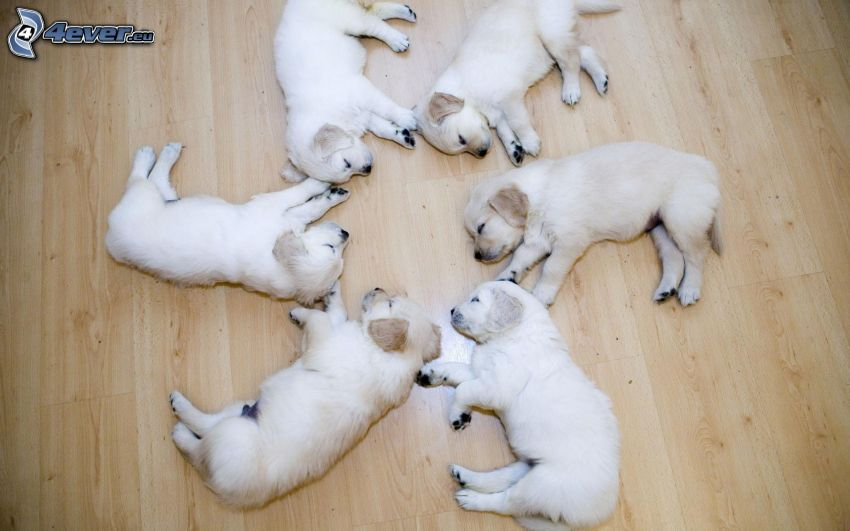 cachorros de Labrador, dormir, circuito, suelo