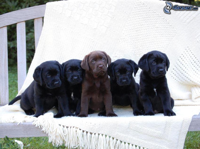 cachorros de Labrador, manta, banco